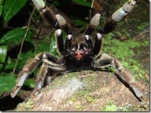 Tarantula-Attack.jpg