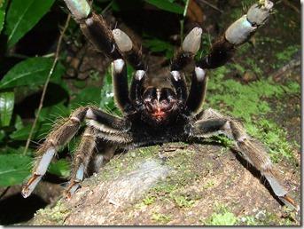 Tarantula Attack